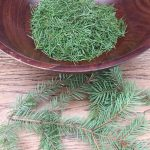 white fir needles harvest