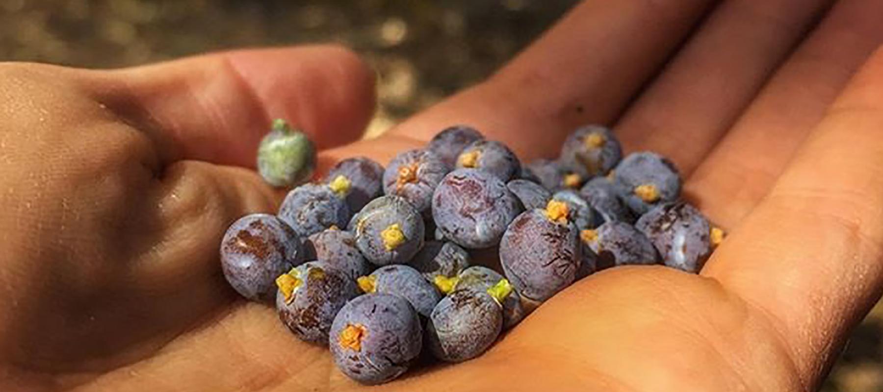 juniper-berries-1800x800.jpg