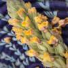 mullein flowers